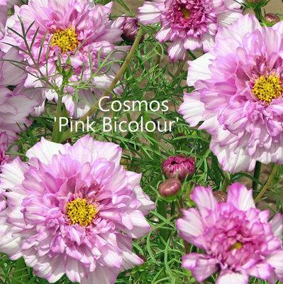 Cosmos 'Bicolour Pink'