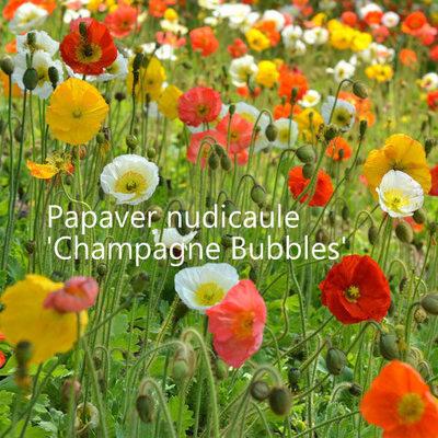 Papaver nudicaule 'Champagne Bubbles Mixed'