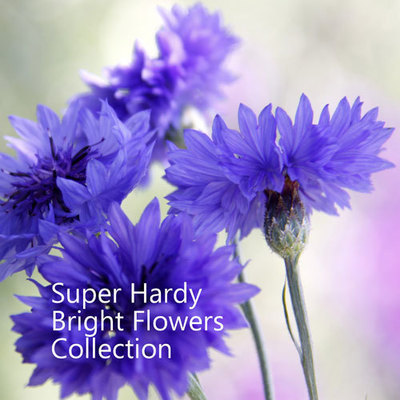 Super Hardy Bright Flowers Collection
