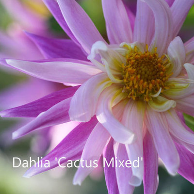 Dahlia 'Cactus Mixed'