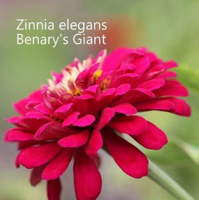 Zinnia elegans 'Benary's Giant Mixed'