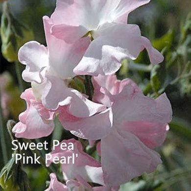 Sweet Pea 'Pink Pearl'