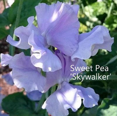 Sweet Pea 'Skywalker'