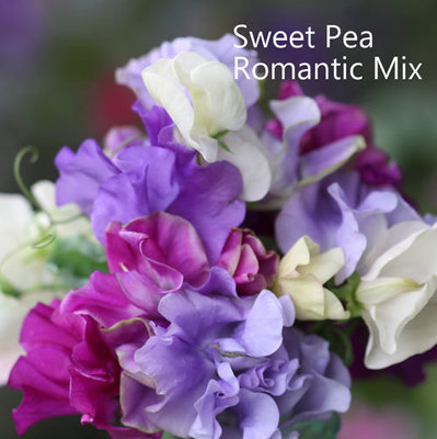Sweet Pea Seeds Mix 'Romantic'