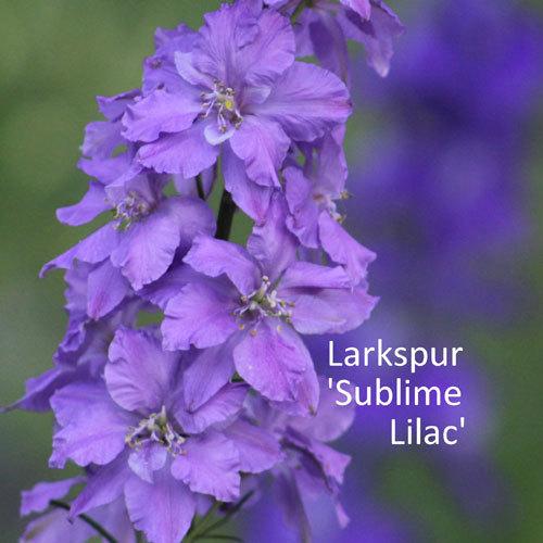 Larkspur 'Sublime Lilac' 00162