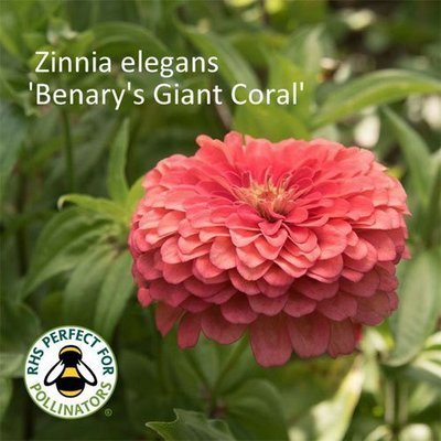 Zinnia 'Benary's Giant Coral'