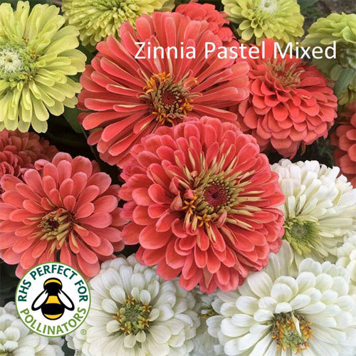Zinnia Pastel Mixed 00182