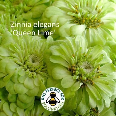 Zinnia elegans Queen Lime