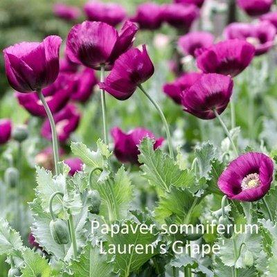 Papaver somniferum 'Lauren's Grape'