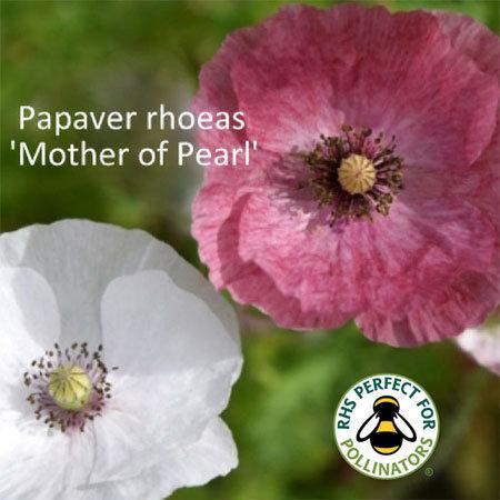 Papaver rhoeas 'Mother of Pearl'