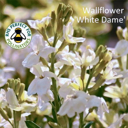 Wallflower 'White Dame' 00204