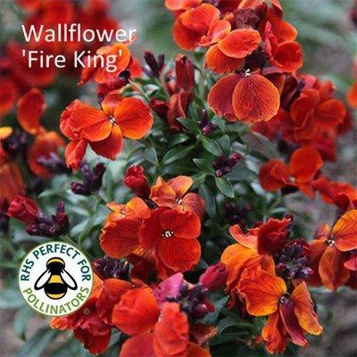 Wallflower 'Fire King'