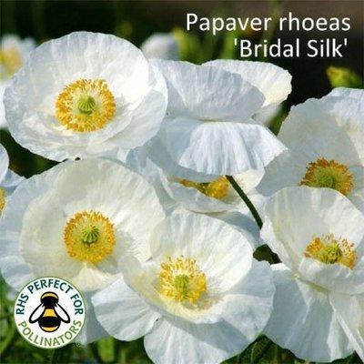 Papaver rhoeas 'Bridal Silk'