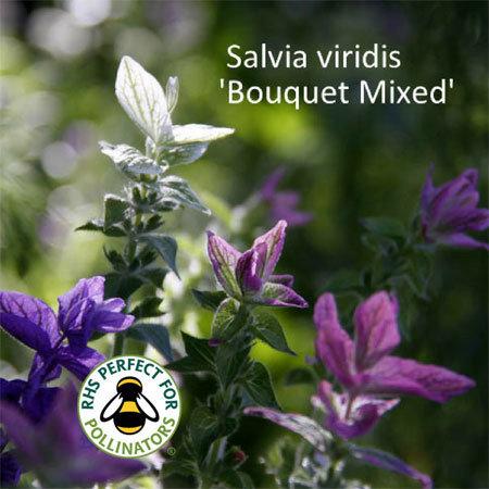 Salvia viridis Bouquet Mixed 00002