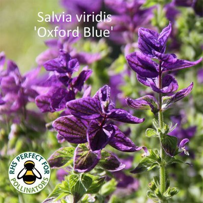 Salvia viridis Oxford Blue