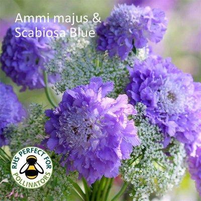 Ammi majus & Scabiosa Blue