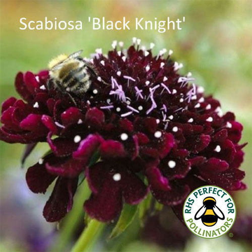 Scabiosa 'Black Knight' 00163