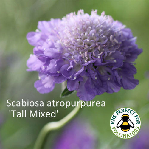 Scabiosa 'Tall Double Mixed' 00023