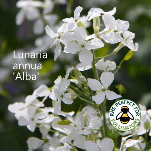 Lunaria annua 'Alba' 00079