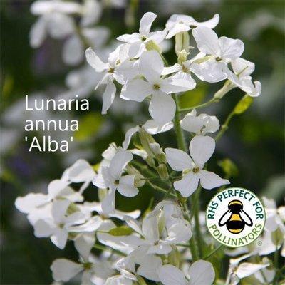 Lunaria annua 'Alba'
