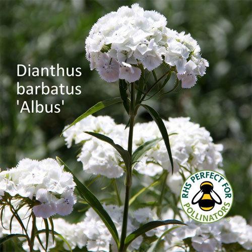 Dianthus barbatus 'Albus' 00090