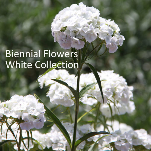 Biennial Flowers White Collection 00215