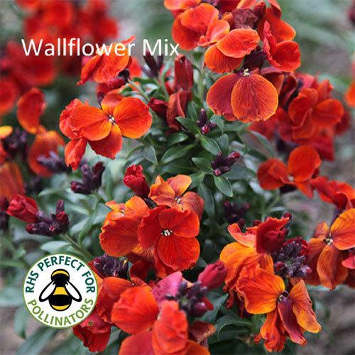 Bold Wallflower Mix