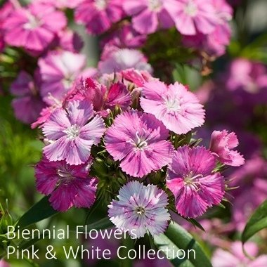 Biennial Flowers Pink & White Collection