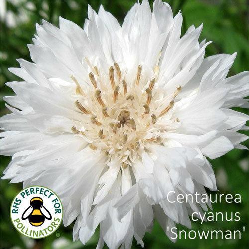 Centaurea cyanus 'Snowman' 00223
