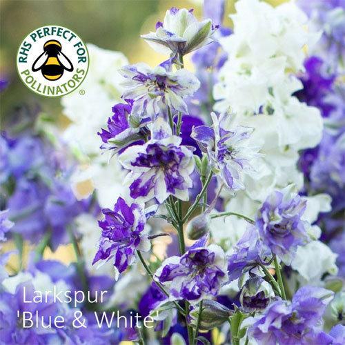 Larkspur Sublime 'Blue & White'