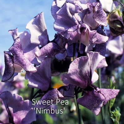 Sweet Pea 'Nimbus'