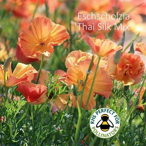 Eschscholzia Thai Silk Mixed