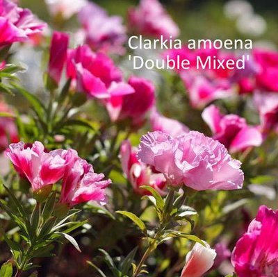 Clarkia amoena Double Mixed