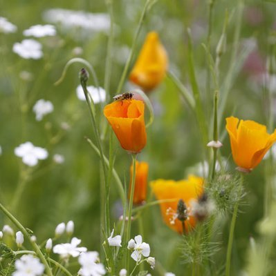 Eschscholzia californica & Gypsophila 'Covent Garden'