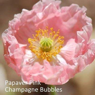 Papaver nudicaule 'Champagne Bubbles Pink'