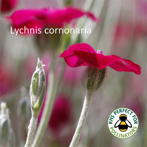 Lychnis coronaria