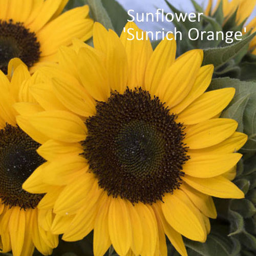 Helianthus F1 'Sunrich Orange' 00298