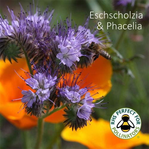 Eschscholzia californica & Phacelia tanacetifolia 00308