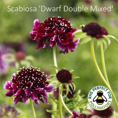 Scabiosa 'Dwarf Double Mixed'