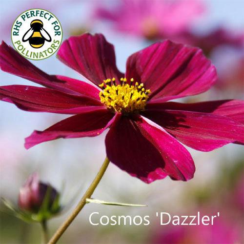 Cosmos bipinnatus 'Dazzler' 00155