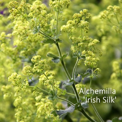 Alchemilla 'Irish Silk'