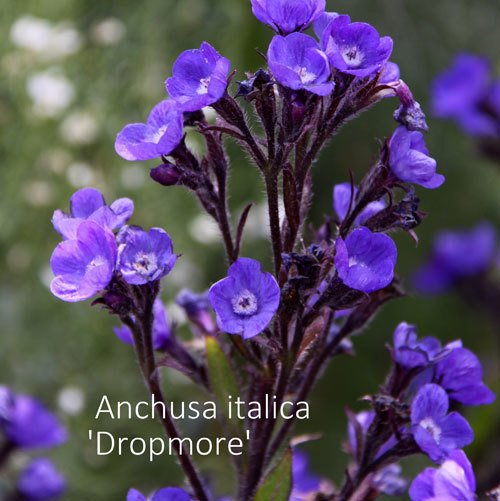 Anchusa italica 'Dropmore'