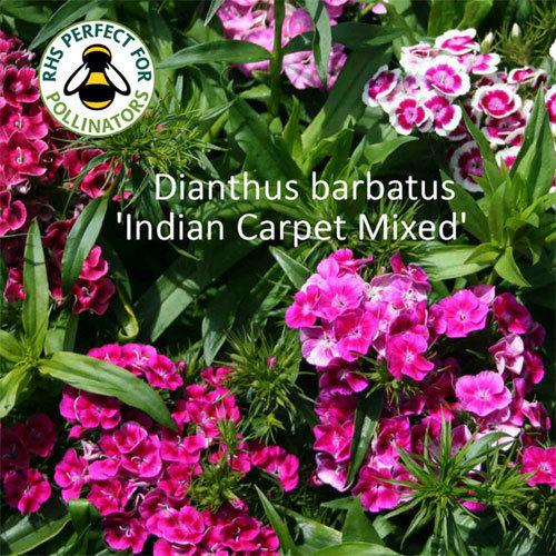 Dianthus barbatus 'Indian Carpet Mixed' 00333