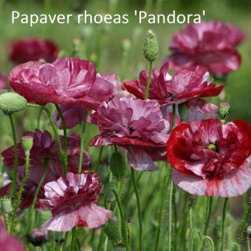 Papaver rhoeas 'Pandora' 00337
