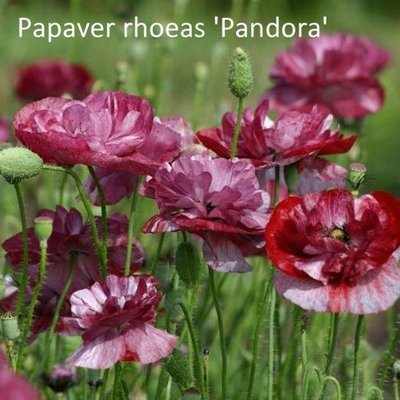 Papaver rhoeas 'Pandora'