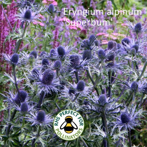 Eryngium alpinum 'Superbum' 00340