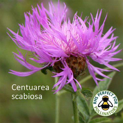 Centaurea scabiosa 00347