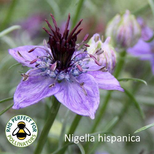 Nigella hispanica 00190