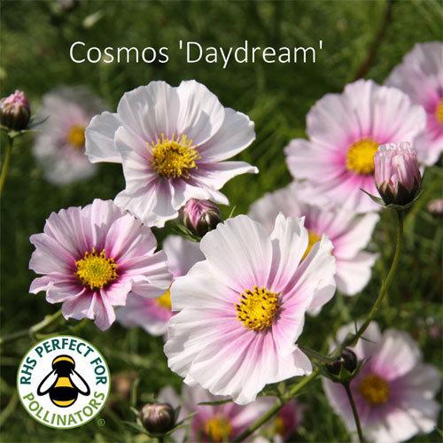 Cosmos bipinnatus 'Daydream' 00040