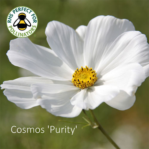 Cosmos bipinnatus 'Purity' 00035